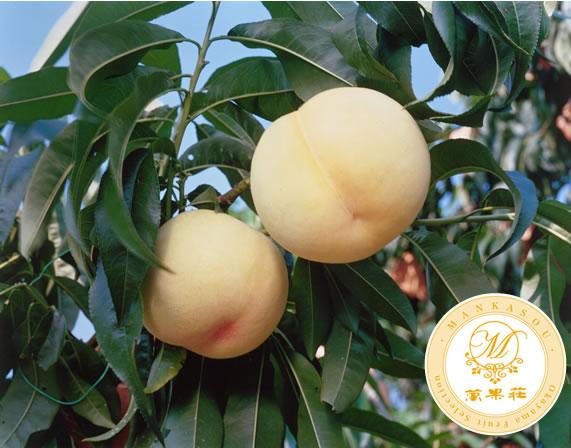 清水白桃 贈答品にもピッタリな特選高級果物です。