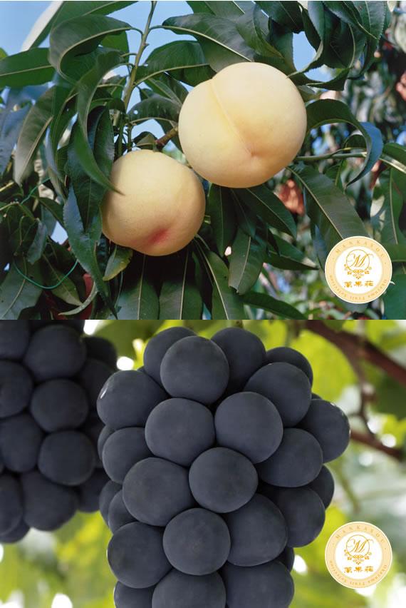 清水白桃&ニューピオーネの詰合せ 贈答品にもピッタリな特選高級果物です。