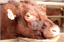 かづの牛のはじまり